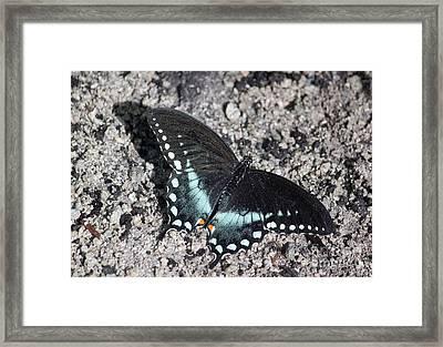 Spicebush Swallowtail IIi Framed Print