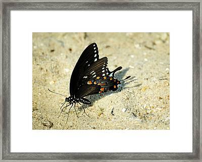 Spicebush Swallowtail Papilio Troilus  Framed Print by Rebecca Sherman