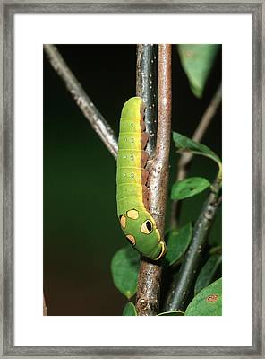Spicebush Swallowtail (papilio Troilus Framed Print