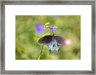 Spicebush Swallowtail Framed Print