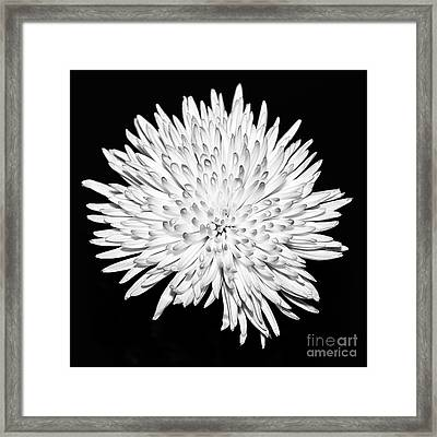Spider Chrysanthemum Framed Print by John Farnan