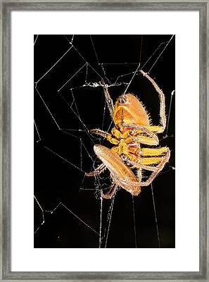 Spider Eating A Cockroach Framed Print by Dr Morley Read