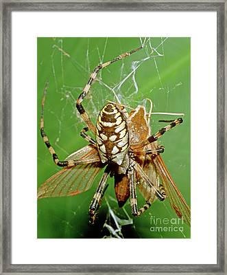 Spider Eating Moth Framed Print by Millard H. Sharp