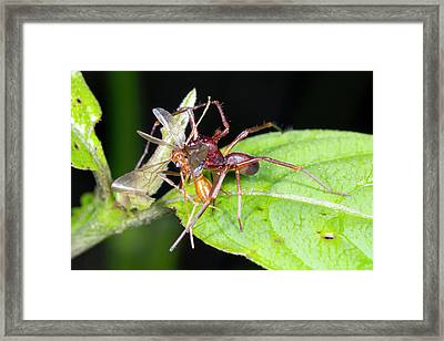 Spider Feeding On A Flying Ant Framed Print by Dr Morley Read