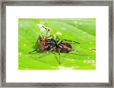 Spider Feeding On An Ant Framed Print by Dr Morley Read