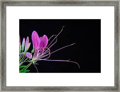 Spider Flower Framed Print by Douglas Barnett