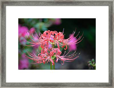 Spider Lily Framed Print by Marilyn Holkham