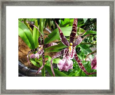 Spider Orchid 1 Framed Print by Lanjee Chee