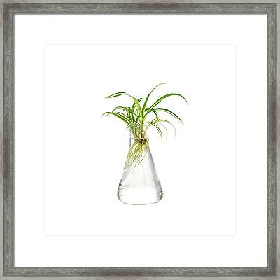 Spider Plant Rooting Framed Print by Science Photo Library