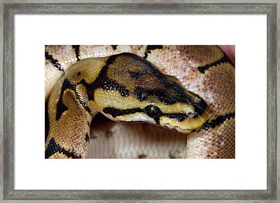 Spider Royal Python Framed Print by Nigel Downer