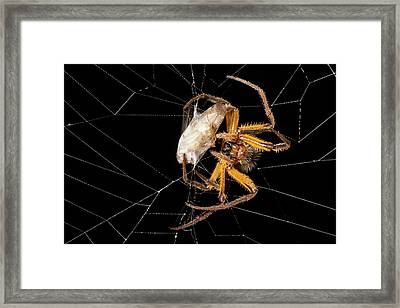 Spider Wrapping A Cockroach In Silk Framed Print by Dr Morley Read