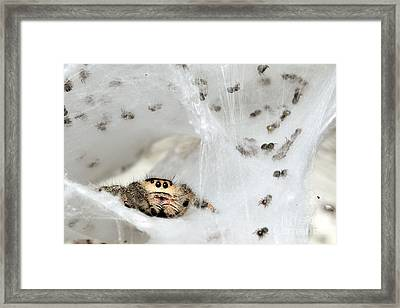 Spiderlings And Mother In Nest Framed Print