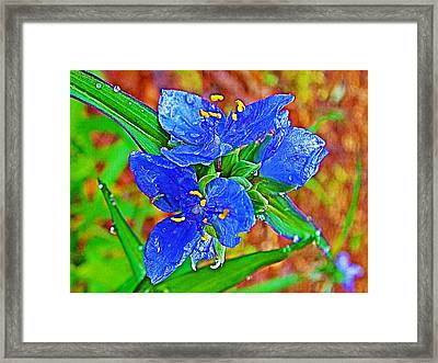 Spiderwort At Mile 122 In Natchez Trace Parkway-mississippi  Framed Print by Ruth Hager
