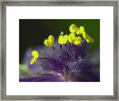 Framed Print featuring the photograph Spiderwort Bubbles by Suzy Piatt