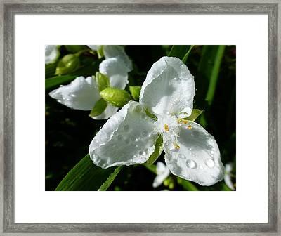 Spiderwort Framed Print