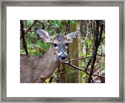 Spike Buck Whitetail Portrait Framed Print by Chris Mercer