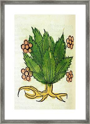 Spikenard Medicinal Plant Framed Print by National Library Of Medicine