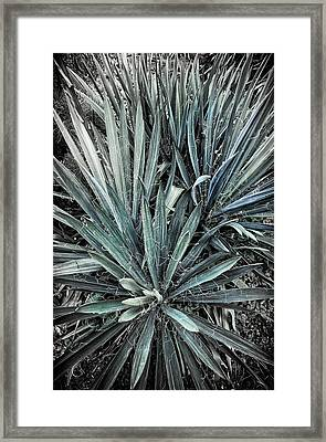 Spiky Blue-green Plant Framed Print