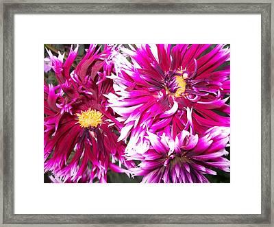 Spiky Dahlia  Framed Print by Sharon Duguay