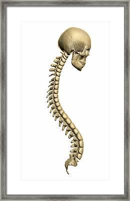Spine And Skull Framed Print