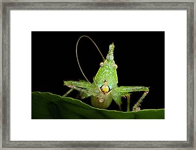 Spine-headed Katydid Nymph, Yasuni Framed Print