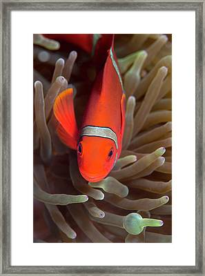 Spinecheek Anemone Fish On Host Anemone Framed Print by Louise Murray