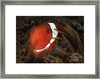 Spinecheek Anemonefish, Gorontalo Framed Print by Steve Jones