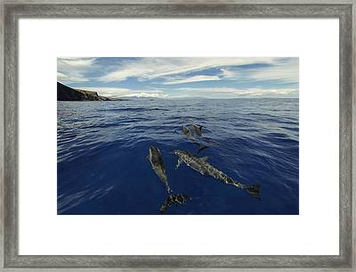 Spinner Dolphins Of Lanai Framed Print by Brad Scott