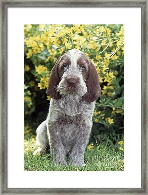 Spinone Dog Framed Print
