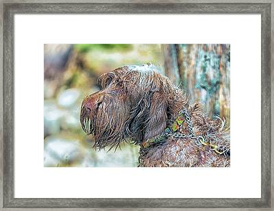 Spinone Italiano Italian Wire Haired Pointer Framed Print