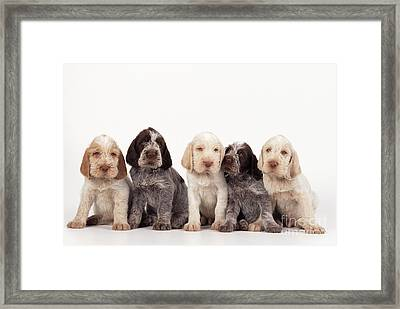 Spinone Puppy Dogs Framed Print