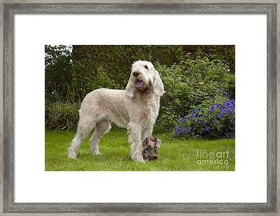 Spinone With Mini Dachshund Framed Print