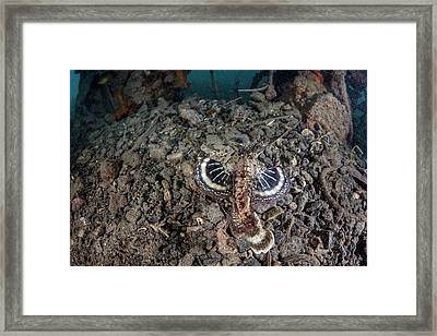 Spiny Devilfish Framed Print