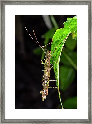 Spiny Moss-mimicking Stick Insect Framed Print by Dr Morley Read