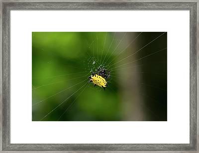 Spiny Orbweaver Spider Framed Print