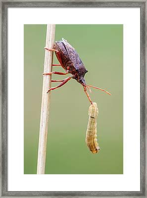 Spiny Shieldbug Framed Print
