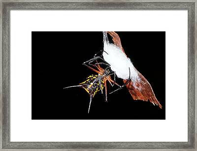 Spiny Spider Wrapping Eggs In Silk Framed Print by Dr Morley Read