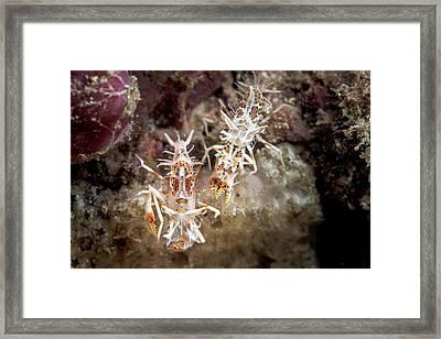 Spiny Tiger Shrimp Framed Print