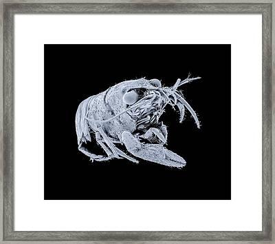 Spinycheek Crayfish Framed Print
