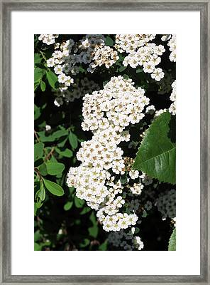 Spiraea Nipponica 'snowmound' Framed Print
