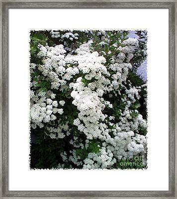 Framed Print featuring the photograph Spirea Bridal Veil by Barbara Griffin