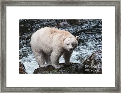 Spirit Bear From The Great Bear Rainforest Framed Print by Melody Watson