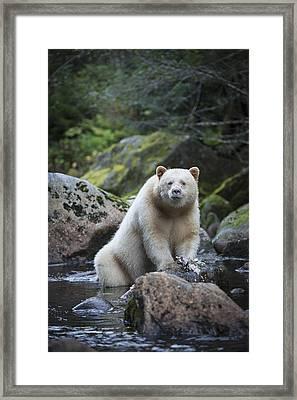 Spirit Bear In Creek Framed Print by Bill Cubitt