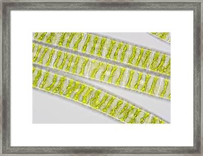 Spirogyra Algae, Light Micrograph Framed Print by Power And Syred