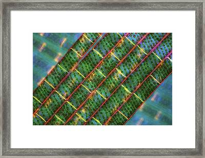 Spirogyra Algae, Light Micrograph Framed Print by Science Photo Library