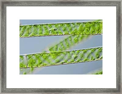 Spirogyra Green Alga Framed Print by Gerd Guenther