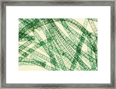 Spirogyra Framed Print by Patrick J. Lynch