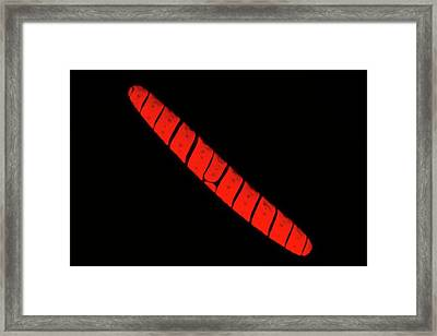 Spirotaenia Alga Autofluorescence Framed Print by Gerd Guenther