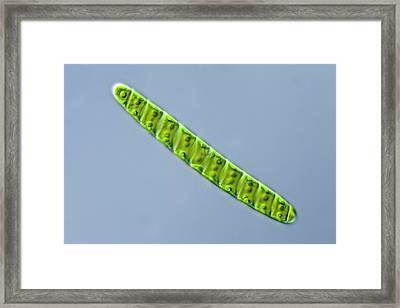 Spirotaenia Sp. Green Alga Framed Print