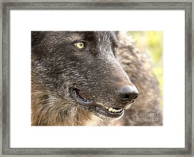 Spitfire Of Yellowstone National Park Framed Print